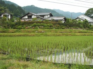 Rice paddies - full of water and newly planted rice seedlings