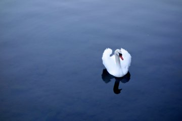 ...Except for the swans
