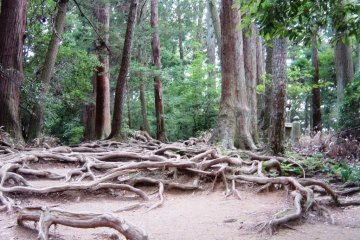 Tangled tree roots covering the Kurama-Kibune trail make for some mystical atmosphere in twilight