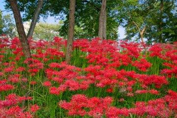 Kinchakuda -Thiên đường hoa bỉ ngạn