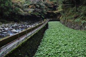 Une ferme de Wasabi