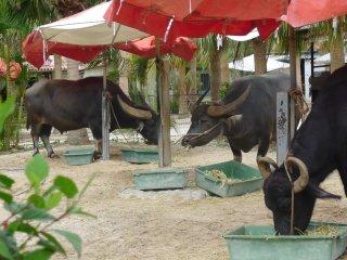 Beaucoup de buffles dans les îles Ryukyu