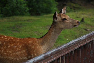 There are many deer in the gardens
