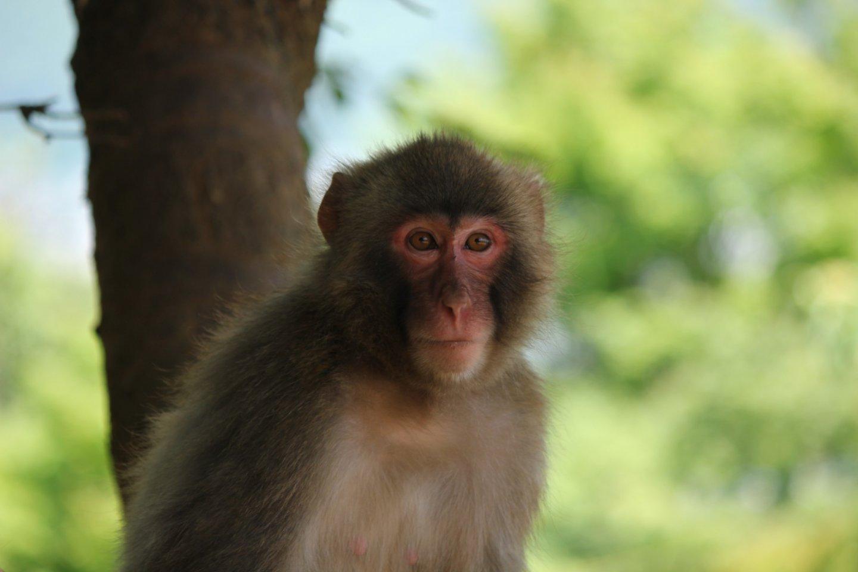 Japanese macaque monkeys.