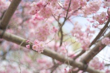 ชื่นชมดอกซากุระที่ริมฝั่งแม่น้ำคะโมะ