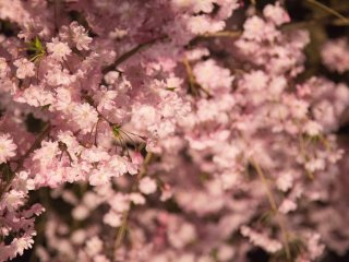 The dim lighting of the sakura gave the blossoms a whole different feel than from daytime
