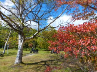 White birch and red leaves of Japanese maple under the blue sky