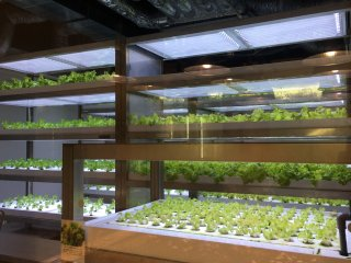 Crops are only grow in the open but also in these temperature controlled rooms.