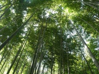 Bambu-bambu yang tinggi menutupi langit