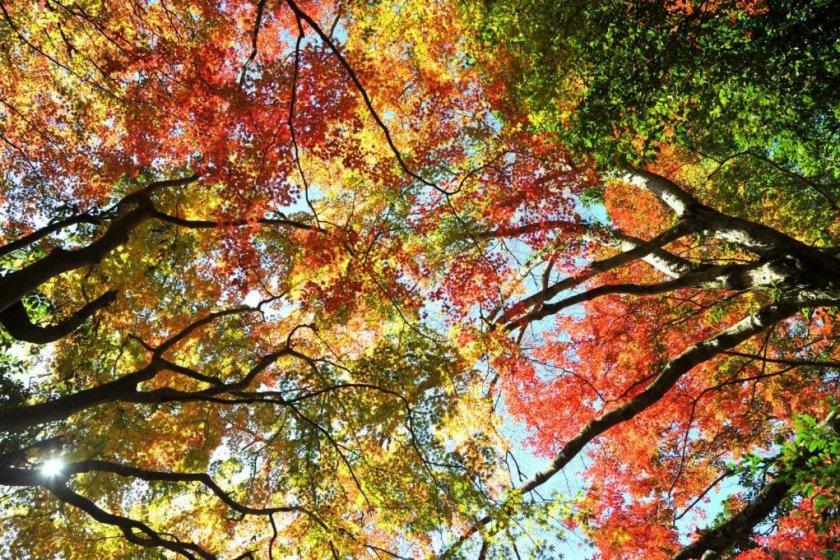 Lá cây rực rỡ ở thung lũng Umegase