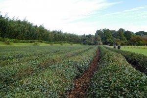 Tea plantation in Korakuen Gardens