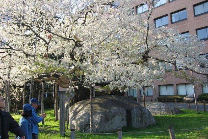 Cây khổng lồ trở nên sống động trong mùa hoa anh đào.
