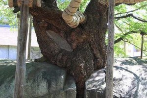 Cây phát triển từ một vết nứt siêu nhỏ và hiện đang dần chinh phục tảng đá mà nó được sinh ra.