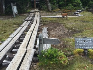 """Yakushika"" or Yakushima deer along the way."