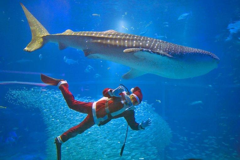 ชมซานต้าว่ายน้ำเล่นกับฉลามวาฬที่โอซาก้า
