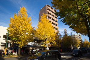 The gingko trees lining the streets