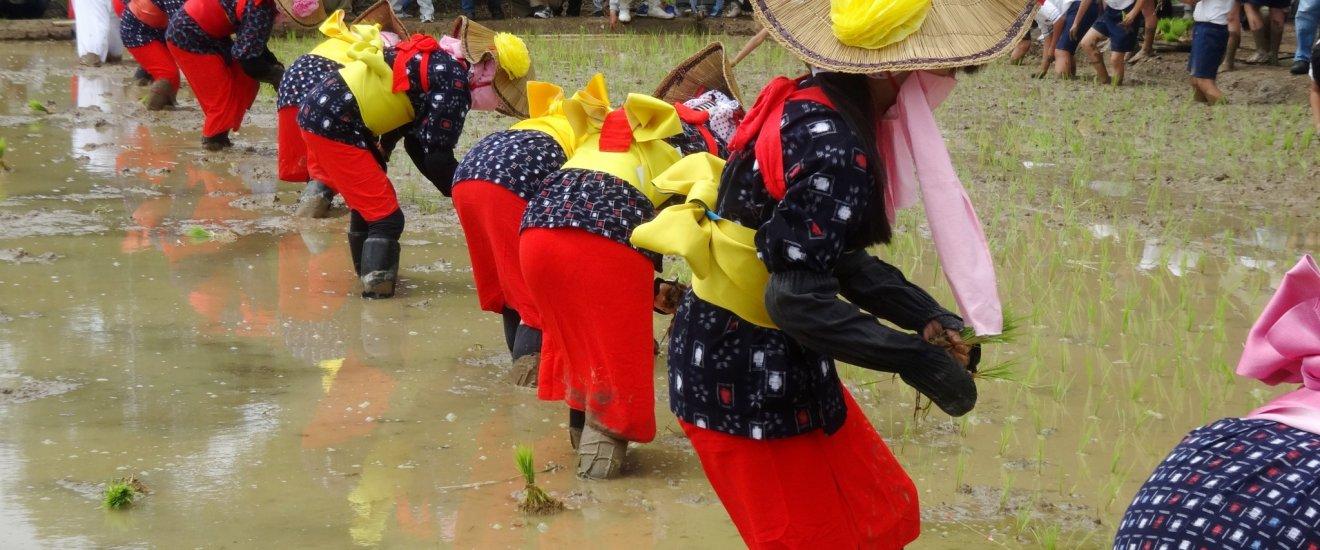 매년 전통 의상복을 입은 참가자들이 아라오 마을의 첫 모내기를 시작합니다.