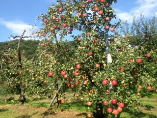 This apple tree is ready to harvest.