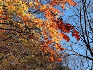 Lá cây gỗ thích trên nền trời xanh