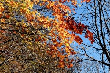 Листья клена на фоне голубого неба