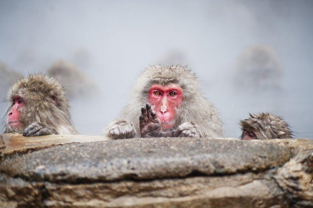 Para monyet menunjukkan berbagai ekspresi wajah