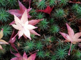 ต้นมอสสีเขียวเข้มตัดกันอย่างเฉียบขาดกับใบโมะมิจิ หรือใบเมเปิ้ลญี่ปุ่นที่มีสีส้มหรือสีแดงสด