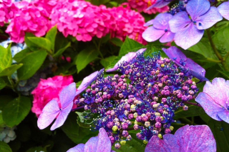ดอกไฮเดรนเยียในภาษาญี่ปุ่นเรียกว่า ดอกอะจิไซ (Ajisai)