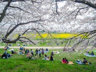 ไม่มีอะไรที่ดีไปกว่าการปิกนิคใต้ต้นซากุระในฤดูใบไม้ผลิ