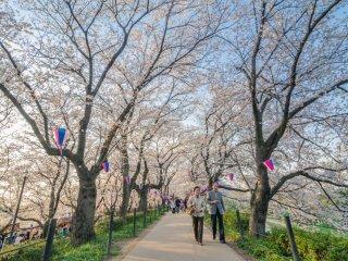 ทางเดินหลักผ่านต้นซากุระที่บานสะพรั่ง ช่างเป็นภาพที่งดงามนัก