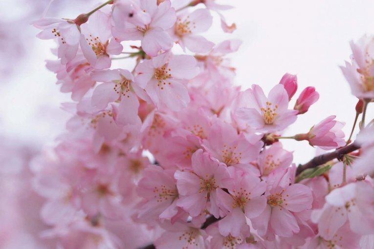 Itinerary Musim Sakura di Ota