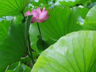 緑色の葉は大きく葉脈がくっきりしている