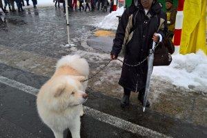 A beige Akita dog