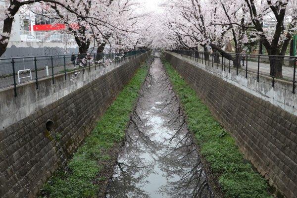Sakura along the Asao River.