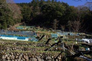 Terraced wasabi fields
