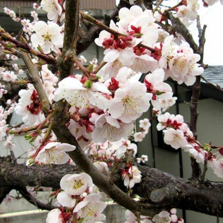 Mùa ngắm hoa anh đào Hanami ở Nhật
