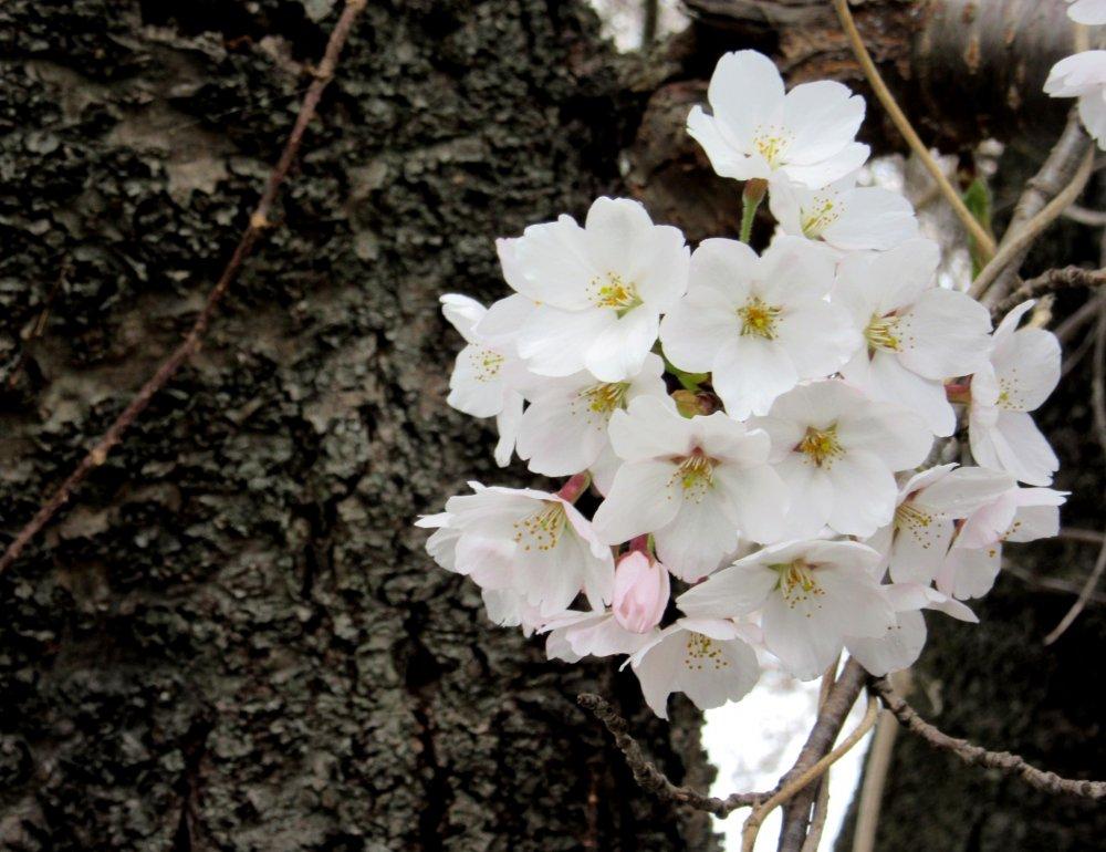 Sự tương phản giữa thân cây và hoa nở mỏng manh