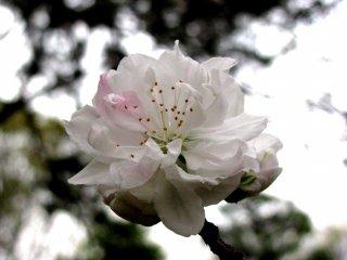 Mỗi bông hoa đơn lẻ rất đẹp và mỏng manh