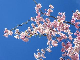 Sakura vào ngày quang đãng