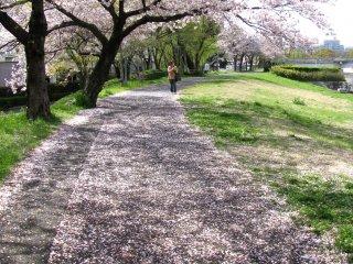 Kết thúc một mùa hanami đẹp