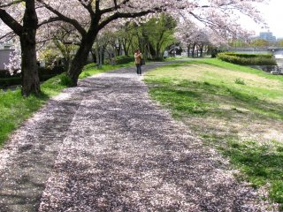Beautiful ending of hanami season