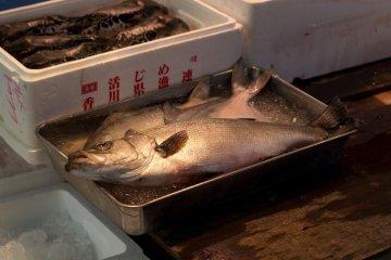 Large tuna