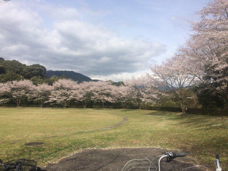 거대한 그라운드에 만개한 벚꽃