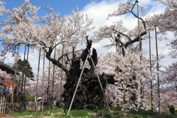 2,000 year old cherry tree