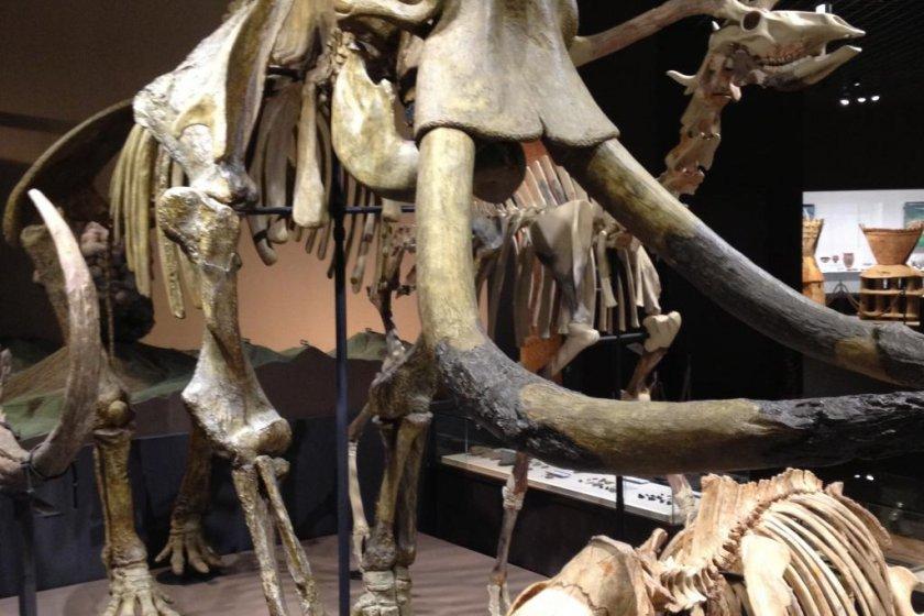 マンモスの骨です。