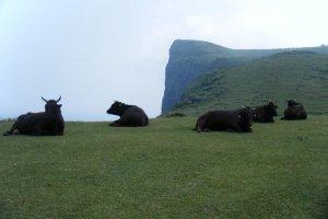 The famous bulls of Oki Islands