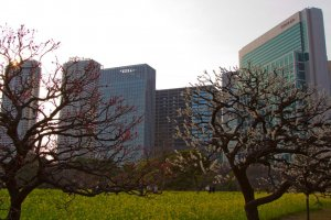 Shiodome skyscrapers seen through the grove of plum trees
