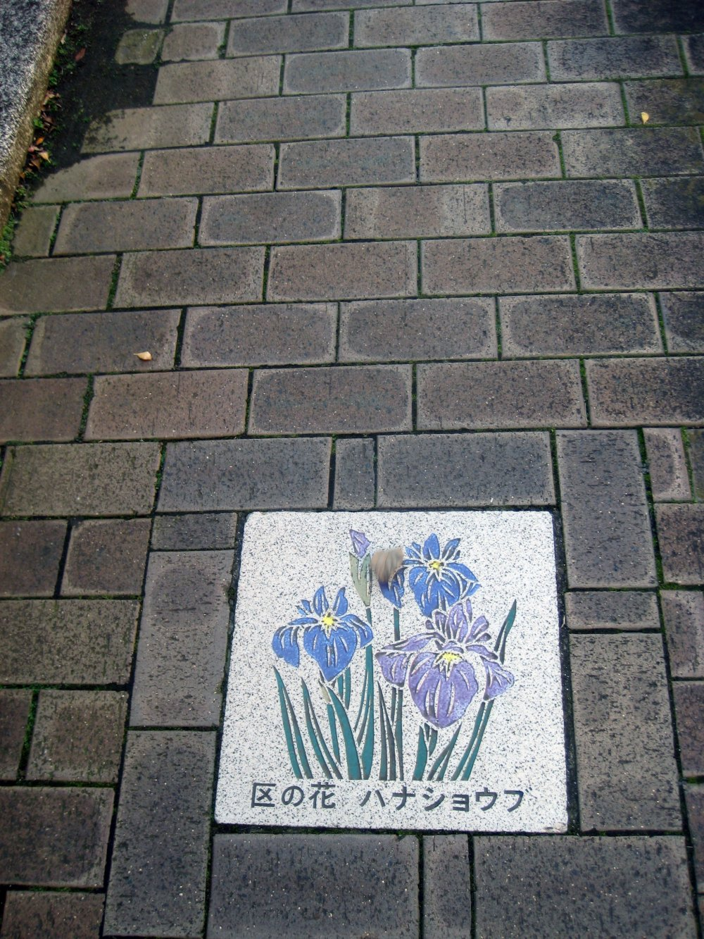 Des Iris Ensata sous vos pieds