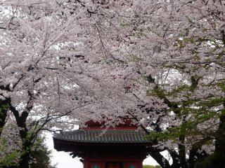 The 5-story pagoda is obscured by sakura