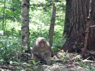 Keep an eye out along the path for some of these red-faced Japanese monkeys