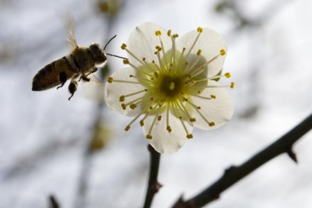 Hoa mơ ở vườn Shukkeien